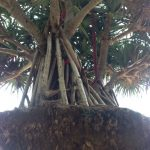 Pandanus Palm View 2