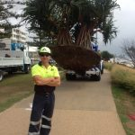 Chay King - Pandanus Palm Transplant