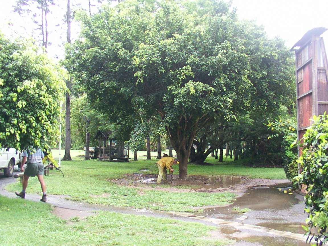 Transplanting Fig at Boomerang Farm Golf Course