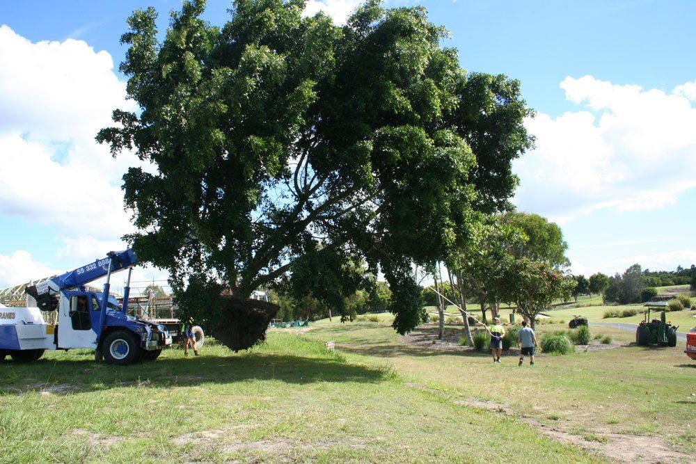 Transplanting Figs at The Glades, November 2007