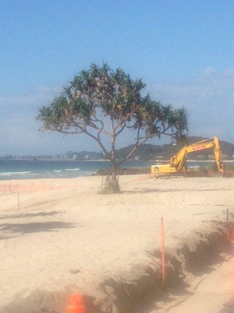 Tramsplanting Pandanus Palm Beach foreshore May 2014