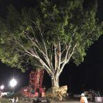 Brisbane Inner City Bypass - Ficus hillii transplant