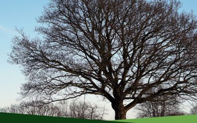 Professional Tree Services 101: What is crown lifting?